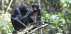 Bonobo Mothers Are Very Concerned About Their Sons' Sex Lives