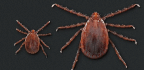 Another Tick-Borne Disease To Worry About