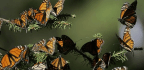 What All the Affection for Monarch Butterflies Misses