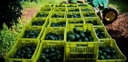 Up To Four Avocado Trucks Stolen In Mexican State Every Day