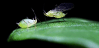 'Borrowed' Virus Genes Put Wings On Some Pea Aphids