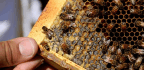 More Bad Buzz For Bees