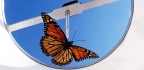 Captive Breeding Makes Monarchs That Don't Fly South