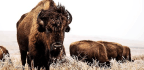 Thank Bison And Their Dung For Domesticated Quinoa