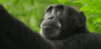 A Scientist Witnessed Poachers Killing a Chimp