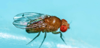 Genes Show Why Some Flies Learn Faster Than Others