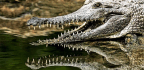 Do Crocodile Smiles Hold The Secret To Regrowing Teeth?
