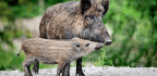 Wild Boar Genes Recreated Domestic Pigs