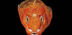 Boney Armor Protects Komodo Dragons In Battle