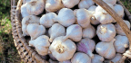 Get Ahead With Garlic