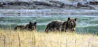 4 Injured From Grizzly Bear Attacks As Population Rebounds From Extinction Threat
