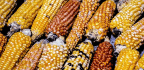 In Guatemala, A Bad Year For Corn — And For U.S. Aid