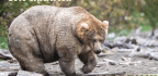Stuffed With Sockeye Salmon, 'Holly' Wins 'Fat Bear Week' Heavyweight Title