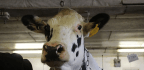 Most U.S. Dairy Cows Are Descended From Just 2 Bulls. That's Not Good