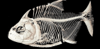 Piranhas Lose And Regrow A Bunch Of Teeth All At Once