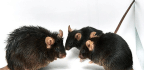 Obesity In Mice Boosts Arthritis Risk For Generations