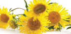 Healthy Lungs With Elecampane