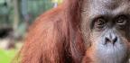 Orangutan Sandra Granted Personhood Settles Into New Florida Home