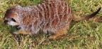 Conservation Of Meerkats And Men